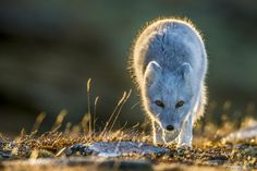 Photo Mountain fox in low sunlight by Trond Eriksen on 500px