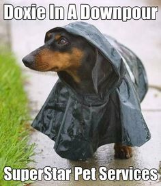 Doxie In A Downpour. www.superstarpetservices.com