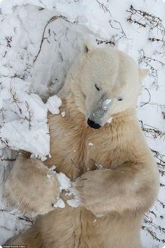 Curious polar bear from Churchill