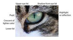 anatomy of cat's eye