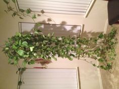 Now what? An over-zealous Pothos is a wonderful problem to have.