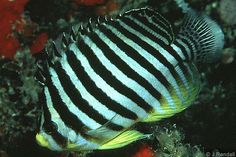 multi-barred angelfish (Paracentropyge multifasciata), South China Sea and western Pacific