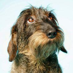 Dachshund Facts, Dachshund Funny, Dachshund Puppies, Dachshund Love, Daschund, Long Haired Miniature Dachshund, Long Haired Dachshund, I Love Dogs, Cute Dogs