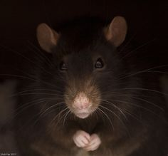 Rats need love too!....he looks just like my Harry who has since gone to rattie heaven .
