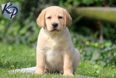 Dover – Labrador Retriever – Yellow Puppy  #labradorretriever  #keystonepuppies