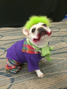 My sister's French Bulldog as the Joker, he wins first place at the local pet costume contest.