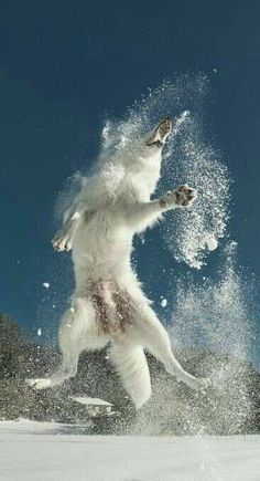 - Cooler Wolf im Schnee Wolf Snow Wolf playing with snow Wolf Photos, Wolf Pictures, Animal Pictures, Beautiful Wolves, Beautiful Dogs, Animals Beautiful, Animals And Pets, Cute Animals, Wolf Husky