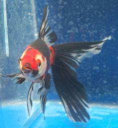Goldfish - Wonderful Shub front view