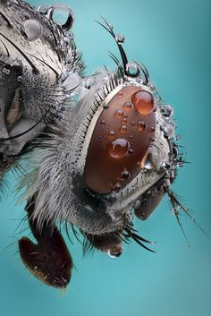Water droplets on an ordinary insect, in micro photography that shows little body hairs. CREDIT: Fly by Paulo Latães. Another of God's TINY MIRACLES - https://www.pinterest.com/DianaDeeOsborne/tiny-miracles/ - that is, to be honest, a little GROSS as well as fascinating! #DdO:)