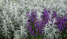 Perenner för soliga och torra lägen – Trädgård à la Rosenholm  Vitmalört, Artemisia ludoviciana 'Silver Queen' och Stäppsalvia