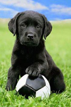 5 Interesting Facts about Labrador Retriever #labradorretriever