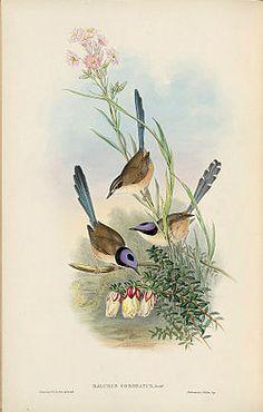 La ratona australiana de corona morada o maluro coronado (Malurus coronatus)2 3 es una especie de ave paseriforme de la familia Maluridae endémica del norte de Australia.