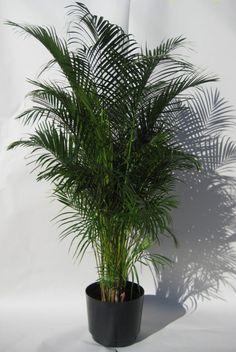 House Plants Decor, Plant Decor, Indore Plants, Areca Palm Plant, Large Indoor Plants, Arabic Decor, All About Plants, Decoration Plante, Diy Planters