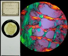 Antique Victorian Microscope Slides - Minerals, Vertebra bone of porpoise.