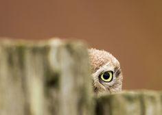 Owl Photos, Owl Pictures, Cute Animal Pictures, Nature Animals, Animals And Pets, Cute Animals, Little Owl, Little Birds, Owl Bird