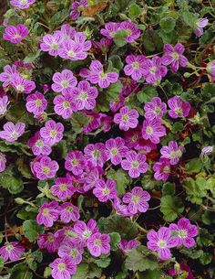 Korukurjennokka - Viherpeukalot Large Flowers, Colorful Flowers, Blue Flowers, Pink Perennials, Annual Plants, Geraniums, Pastel Colors, Different Colors, Exterior
