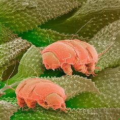 Tardigrades (False Color Image)