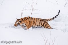 """Snow""-Tiger.   Amur-Tiger.   Siberian Tiger.   More pics and complete story: http://www.ingogerlach.com/sibirischer-tiger-amurtiger"