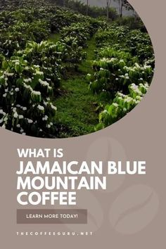 Are you familiar with JBM coffee? Learn about one of the most exclusive coffee beans in the world today. #JamaicanBlueMountain #coffeebeans #JBM #coffee Real Coffee, Coffee Type, Coffee Pods, Jamaican Coffee, Types Of Coffee Beans, Blue Mountain Coffee, Coffee Industry, Arabica Coffee Beans, Coffee Facts