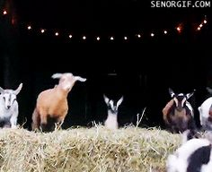 This goat who is one quick little dude.