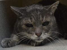 """GILLIGAN - 14847 - - Brooklyn  ***TO BE DESTROYED 11/30/17***  SENIOR BOY GILLIGAN WAS GOOD WITH OTHER CATS AND A LARGE BREED DOG – NOW HE NEEDS A HOME OF HIS OWN!  GILLIGAN came from a home with 14 other cats and a large dog.  He got along well with all of them. However his owner decided now that he needed to get rid of GILLIGAN because he had """"too many"""".  Funny that GILLIGAN happens to be and older boy who needs follow up care for a heart condition.  GIL"""