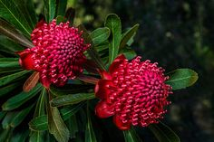 Telopea speciosissima - Waratah  A protected Australian native and the state flower of NSW