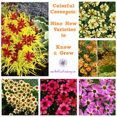 Coreopsis is a staple of the traditional flower garden because it's long-blooming, easy to grow, and the profuse little daisy-like flowers can cheer up anyone if they're having a bad day. Yet most people haven't looked beyond the old-school varieties to learn about the wide array of colors available in this favorite, adaptable plant.