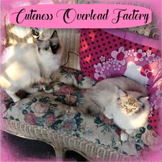 Both expecting babies in August. Ragdoll Kittens For Sale, Kitten For Sale, Instagram R, Daily Video, Daily Pictures, Expecting Baby, Ag Dolls, Baby Cats, Funny Cats