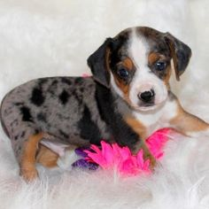 Teacup Pocket Beagle | Silver Harlequin [Silver with patches ofblue and black]