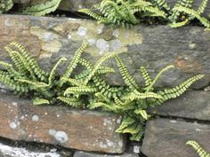 Though not a flowering plant, maidenhair spleenwort looks attractive growing in walls Pool Plants, Shade Plants, Garden Plants, Landscaping Retaining Walls, Landscaping With Rocks, Fern Plant, Plant Wall, Rock Wall Landscape, Wall Climbing Plants