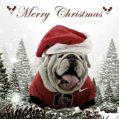 The major breeds of bulldogs are English bulldog, American bulldog, and French bulldog. The bulldog has a broad shoulder which matches with the head. Bulldog Wallpaper, Georgia Bulldogs Football, Georgia Bulldogs Quotes, Merry Christmas, Christmas Time, Christmas Animals, Christmas Pets, Bulldog Puppies, Funny Bulldog