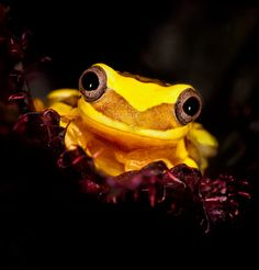 Smiling Golden Tree Frog by dpreview member Matyszyk