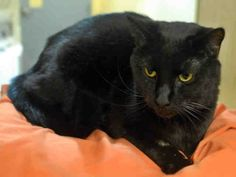 Pittsburgh, PA *LAZARUS - ID#A037993  My name is LAZARUS.  I am a neutered male, black Domestic Shorthair.  The shelter staff think I am about 9 years old. I weigh approximately 19 pounds.  I have been at the shelter since Oct 16, 2014. For more information about this animal, call: Animal Friends Inc. at (412) 847-7000 Ask for information about animal ID number A037993