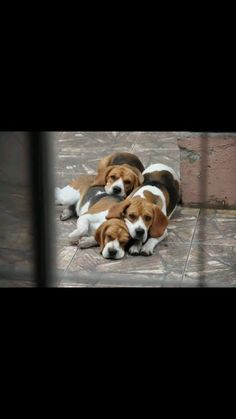 Beagle pack resting and watching.