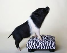 #Wilbur the mini pig, #Petphotography, #minipig,