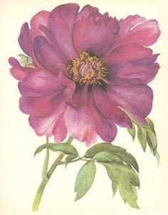 Vintage Flower Print, Tree Peony, Beauty of Tokyo, Botanical Plant (71) Natural History, Blossom Art, 1970, Kaplicka