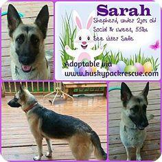Powder Springs, GA - German Shepherd Dog. Meet SARAH, a dog for adoption. http://www.adoptapet.com/pet/12662356-powder-springs-georgia-german-shepherd-dog