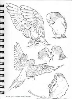 How to Take Care of a Budgie, Parakeet Bird Drawings, Cute Drawings, Animal Drawings, Drawing Animals, Drawing Birds, Animal Sketches, Drawing Sketches, Bird Sketch, Poses References