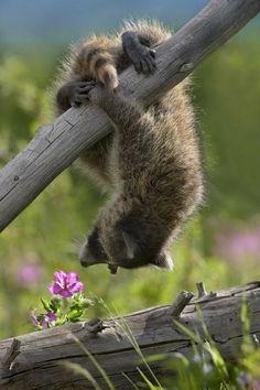Raccoon upside down