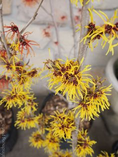 Hamamelis mollis 'Wisley Supreme' 	WISLEY SUPREME WITCH HAZEL	 deciduous flowering  shrub	sun to part shade	10 year size: 15'HW	Vase shaped	Winter blooming	Fragrant pale yellow ribbon like	Medium green leaves	FALL COLOR: Yellow	Deer resistant	Tolerant of any soil