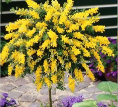 Standard Cytisus Yellow - 1 tree buy online order now Small Trees For Garden, Garden Trees, Lawn And Garden, Blue Garden, Trees And Shrubs, Flowering Trees, Trees To Plant, Backyard Patio Designs, Backyard Landscaping