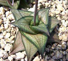 Image of Haworthia venosa ssp. tessellata var. simplex