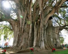 The Tule Tree is a Montezuma cypress tree on the grounds of a church in Santa María del Tule in the Mexican state of Oaxaca. It measures more than 119 feet around. It's believed that the tree is about 2,000 years old. Local legend holds that the tree was planted 1,400 years ago by a priest of the Aztec storm god.