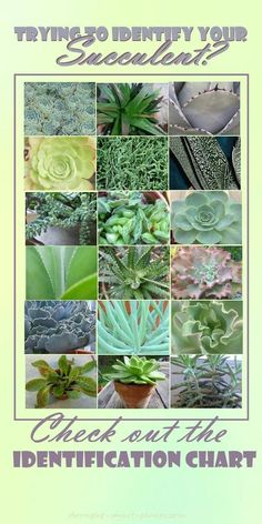 Succulent Identification Chart - gathering descriptions and names for all kinds of succulents is bewildering - there are just so many... Gardening | Succulents