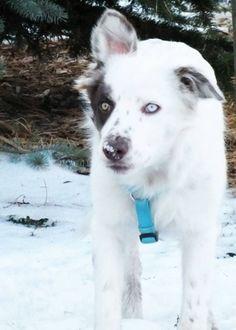 My dog's epic ears Goats, Animals, Animales, Animaux, Goat, Animal, Animais