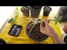 Alongar raízes das rosas do deserto Técnica Anaconda #02 - plante rosa d...
