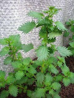 Besonderheiten: Die Brennnesseln (Urtica) bilden eine Pflanzengattung in der Familie der Brennnesselgewächse (Urticaceae). Sie kommen fast weltweit vor. In Deutschland nahezu überall anzutreffen si…