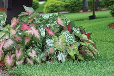 """a pinner said...""""Caladiums are extremely easy to grow and look wonderful in landscaping & flower beds. I put them around the base of the tree so that I don't have to mow around the roots."""" #LandscapeFlowers"""