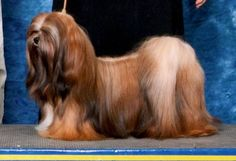 Beautiful Perro Shih Tzu, Teddy Grahams, Pet Breeds, Lhasa Apso, Big Dogs, Beautiful Dogs, Puppy Love, Doggies, Cute Animals