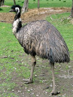 BIRDS OF AUSTRALIA- EMU - to the aussie outback known as the fence breakers to the locals.